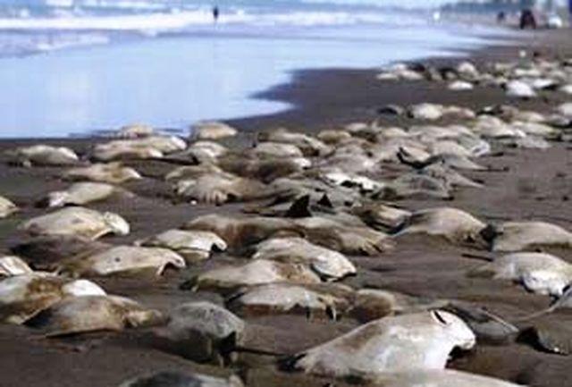 یکصد سفره ماهی در سواحل جزیره قشم جان باختند