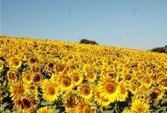 آغاز برداشت آفتابگردان از سطح 260هکتار از مزارع این شهرستان
