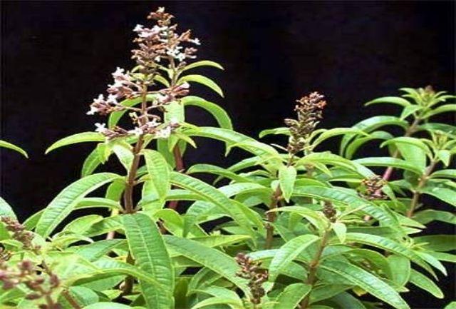 این گیاه یک آنتیبیوتیک طبیعی است!