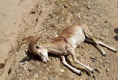 جریمه 400میلیونی برای شکارچیان سلطان صخرههای شاهوار/کشف لاشه 4 کلوقوچ در خوشییلاق شاهرود