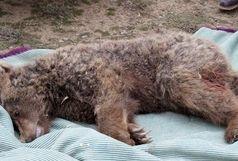 توضیح مدیرکل محیط زیست گلستان درباره جزییات مرگ یک خرس