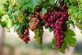 مصرف انگور برای چه کسانی مضر است؟