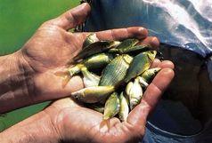 رها سازی 14 میلیون قطعه بچه ماهی در تالاب بین المللی شادگان