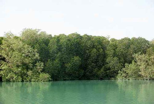افزایش چشمگیر وسعت جنگلهای مانگرو هرمزگان