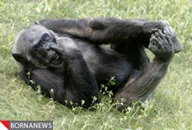 شمپانزههای آزمایشگاهی از بازنشستگی لذت میبرند + تصاویر