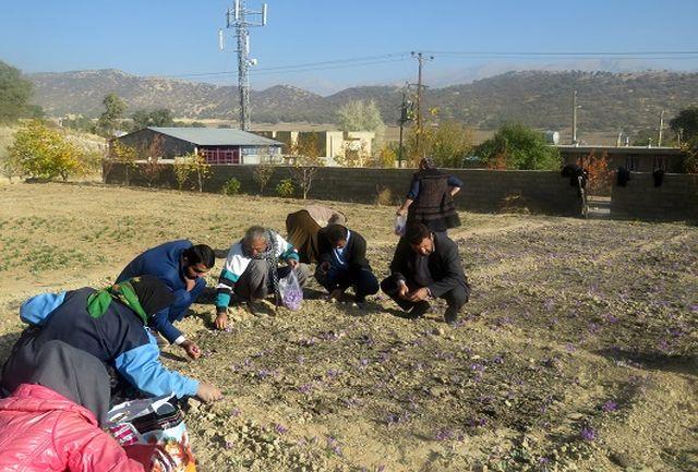 ایجاد 27 مزرعه زعفران در بویراحمد و دنا