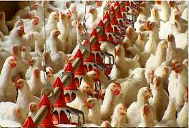 از ابتدای آذرماه؛ طرح تولید مرغ سایز در استان خراسانجنوبی اجرا میشود
