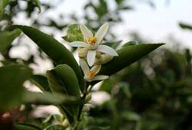 شکوفه زدن درختان مرکبات در رودسر، پدیده ای عجیب