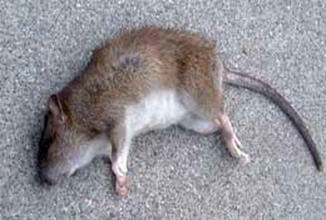 طرح ضربتی مبارزه با موش به اجرا در آمد