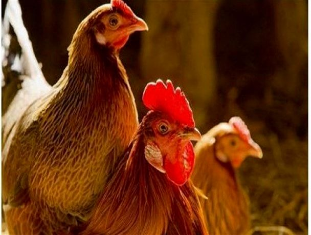 یکسال حبس جزای نگهداری و کشتار غیر مجاز مرغ زنده در زرین دشت