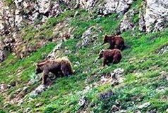 حمله خرس به یکی از اعضای شورای روستا !