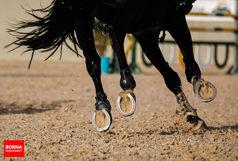 اولین اسب تولیدی ایران در راه بلژیک