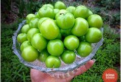 کاهش 50 درصدی تولید گوجه سبز در ابرکوه بعلت گرما زدگی