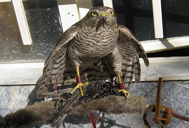 پرنده شکاری با تلاش مرزبان دهلرانی از مرگ حتمی نجات یافت