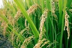 به بارنشستن نخستین خوشه های برنج