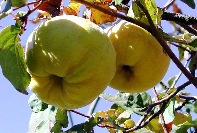 قرار گرفتن ۹ محصول باغی خسارتپذیر همدان در لیست بیمه