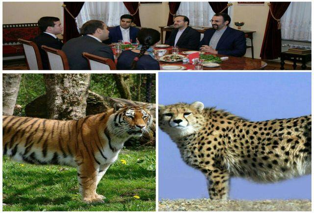 مذاکرات ایران و روسیه برای دور دوم تبادل پلنگ ایرانی و ببر آمور روسی