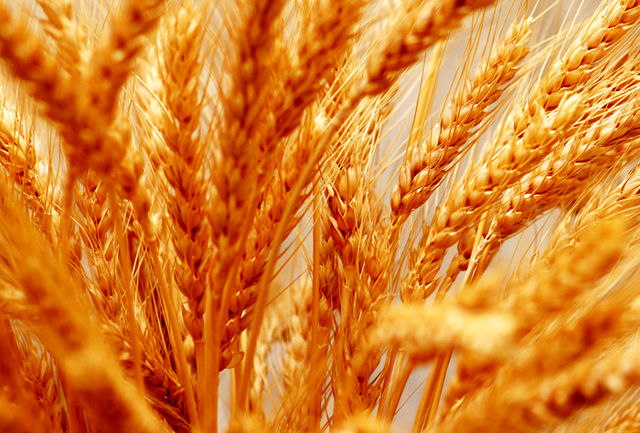 10 هزار میلیارد ریال برای خرید تضمینی گندم اختصاص مییابد