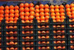 ادامه توزیع پرتقال طرح تنظیم بازار در البرز