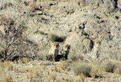 ۴ قلاده یوزپلنگ آسیایی در توران شاهرود مشاهده شد