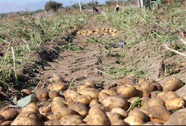افزایش 20درصدی سطح زیرکشت سیب زمینی در هرمزگان