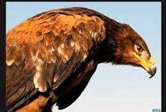 ماموران مرزبانی اترک، عقاب زخمی را به محیط زیست تحویل دادند