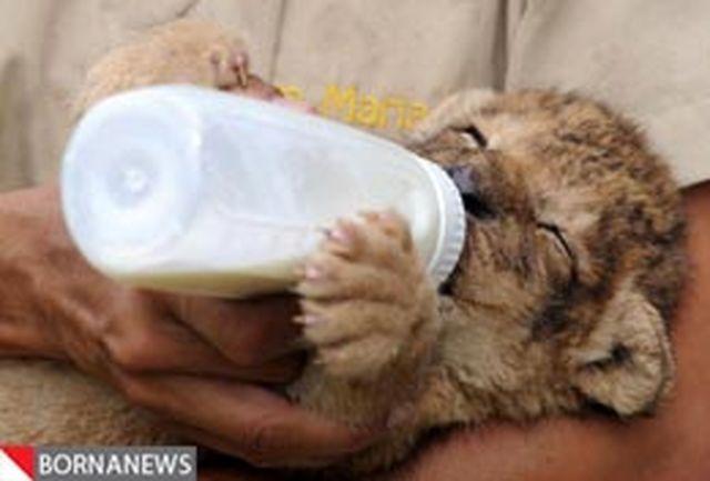 مراقبت مادری از توله شیرهای تازه بدنیا آمده + تصاویر