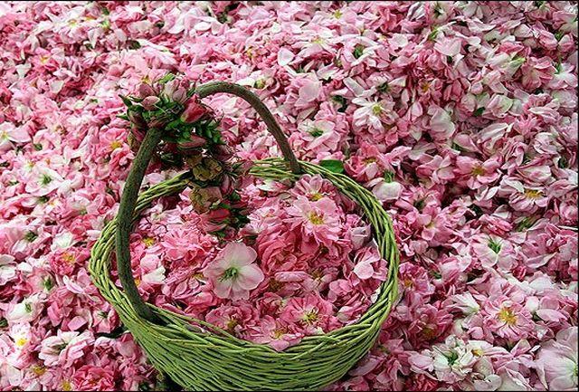 گلاب گیری در میمند