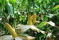 خرید 24 هزار و 500 تن ذرت دانه ای از کشاورزان شهرستان دهلران