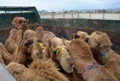 کشف 18 شتر قاچاق در نیکشهر