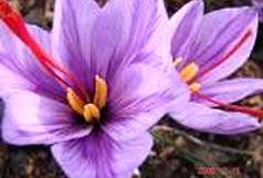 به گل نشستن زعفران در شهرستان حاجی آباد