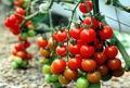 تولید 300 میلیون قطعه نشاء گوجه فرنگی