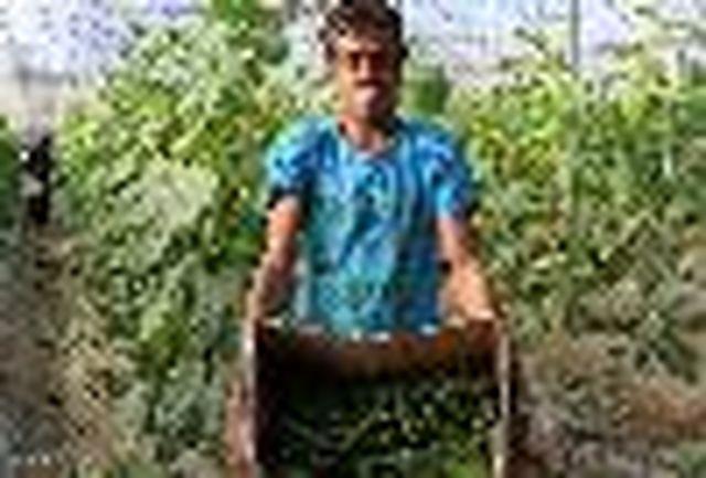 صادرات خیار گلخانه ای هرمزگان