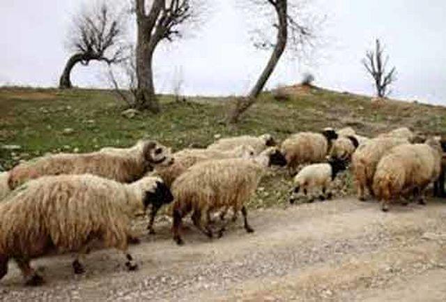 سارق احشام شهرستان ملکشاهی دستگیر شد