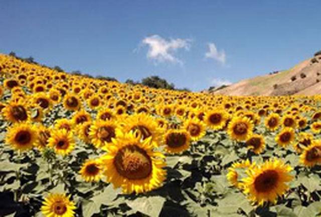 خوردن آفتابگردان کبدتان را سالم نگه می دارد