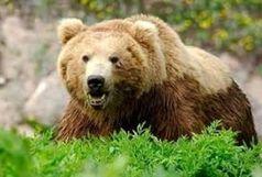 مجروح شدن یک قلاده خرس در گیلانغرب
