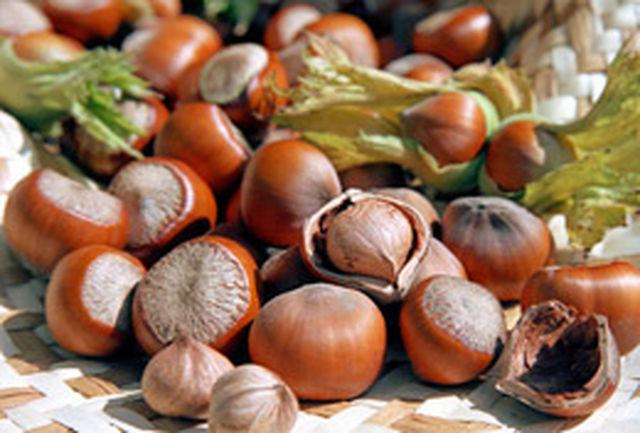 برداشت محصول فندق از باغات شهرستان قزوین آغاز شد