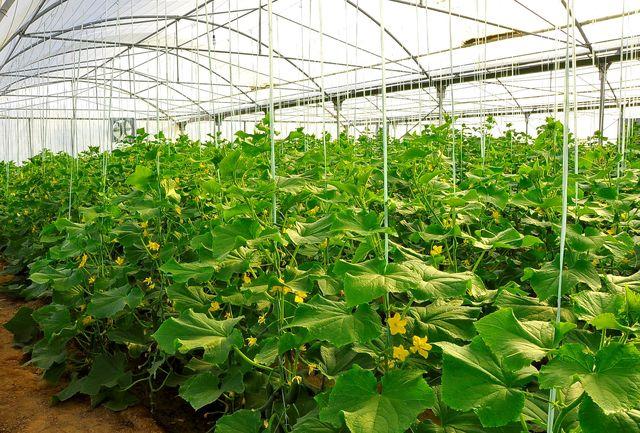 تولید سالانه 30 هزار تن محصول گلخانهای در همدان