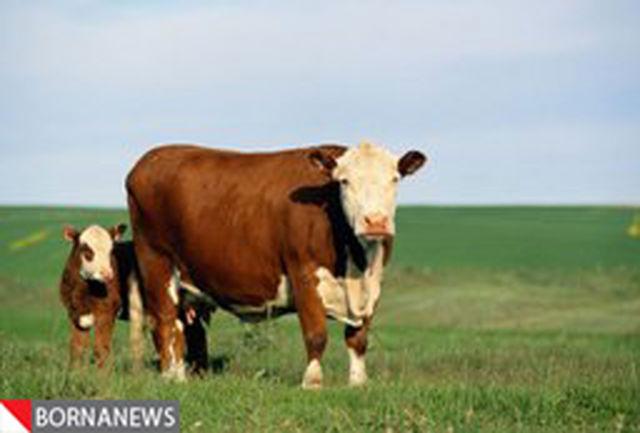 شیر گاو چینی جایگزین شیر مادر میشود