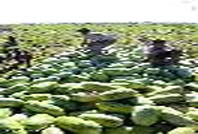 کاشت هندوانه به منزله صادرات آب رایگان به خارج از کشور است
