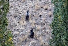 سه قلاده خرس قهوهای در حال حمله به کندوهای عسل دیده شدند