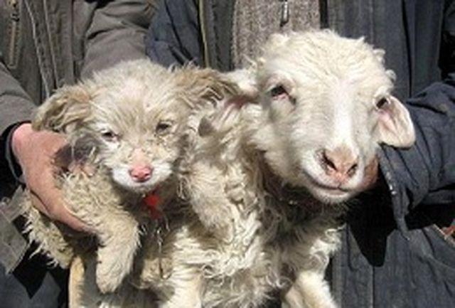 گوسفند، توله سگ زایید