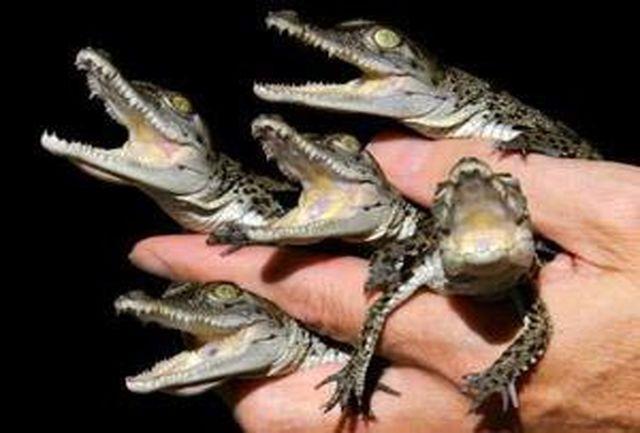 فخرفروشی با تمساح و کروکودیل