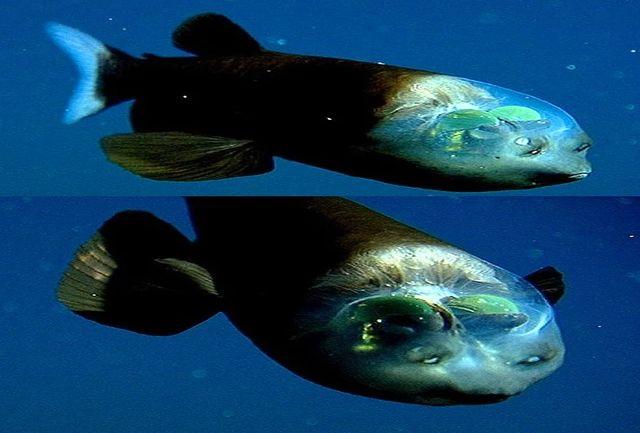 کشف ماهی با سر شفاف در اعماق اقیانوس
