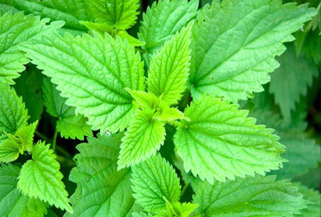 از سم زدایی بدن تا پیشگیری از پوکی استخوان با این گیاه !