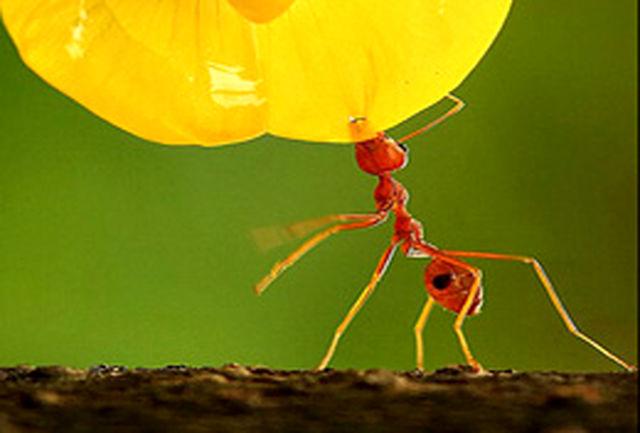 تصویر دیدنی یک مورچه قرمز