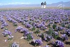امسال ۳۵ کیلوگرم زعفران در آذربایجانغربی تولید میشود