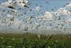 حمله ملخ ها به 100 هکتار از باغات و مزارع میانه