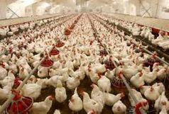 لزوم اختصاص یارانه صادراتی برای صادرات مرغ از سوی دولت