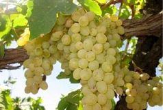 آغاز برداشت انگور از باغات شهرستان ایوان